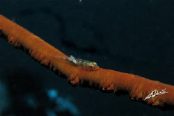 parasite on a whip-coral goby by Adriano Trapani 